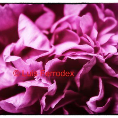 Rosa Rosae1